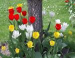 Mtl spring flowers  (52)
